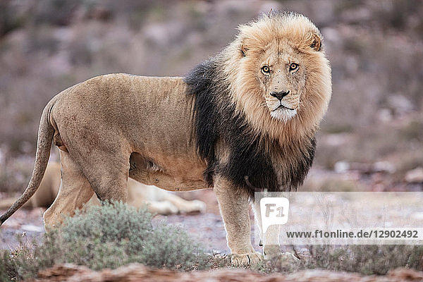 Lion (Panthera leo)  Touws River  Western Cape  South Africa