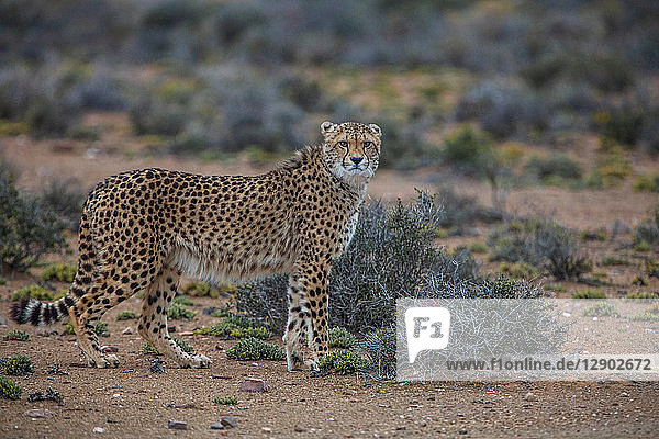 Cheetah (Acinonyx jubatus)  Sutherland  Northern Cape  South Africa
