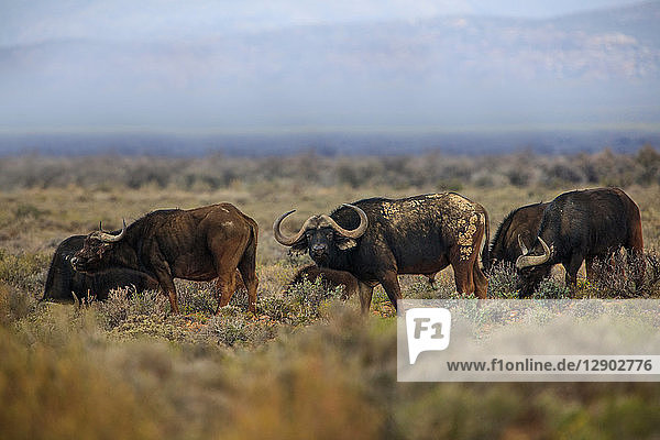 Herd of buffalo (Syncerus caffer) grazing  Sutherland  Northern Cape  South Africa