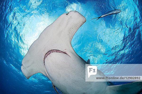 Grosser Hammerhai  Alice Town  Bimini  Bahamas