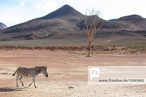 Zebra (Equus quagga)  Touws River  Western Cape  South Africa