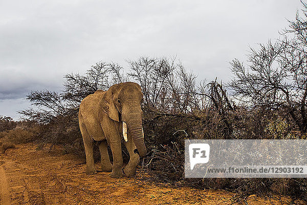 Afrikanisches Elefantenkalb  (Loxodonta)  Sutherland  Nordkap  Südafrika