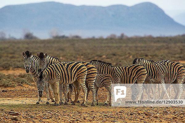 Zebras (Equus Quagga)  Sutherland  Nordkap  Südafrika