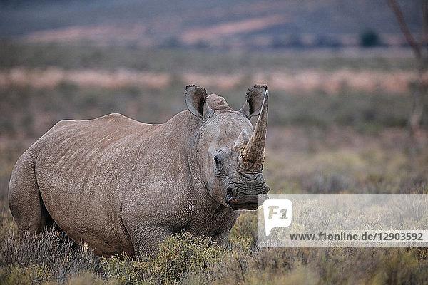 Breitmaulnashorn (Ceratotherium simum)  Touws River  Westkap  Südafrika