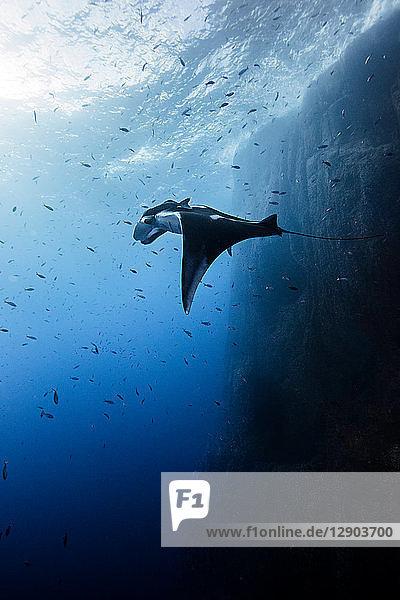 Ozeanischer Riesenmantarochen  Socorro  Baja California  Mexiko