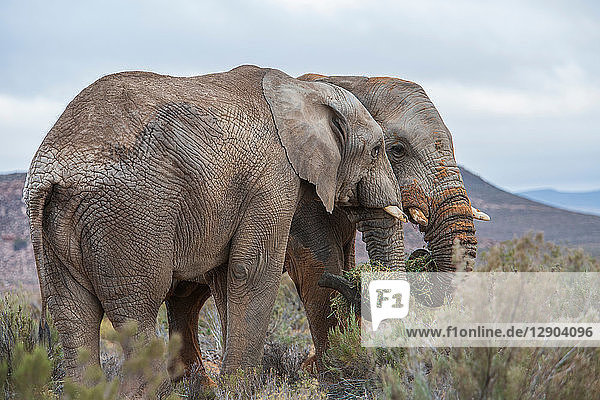 Pair of African elephants (Loxodonta)  Touws River  Western Cape  South Africa