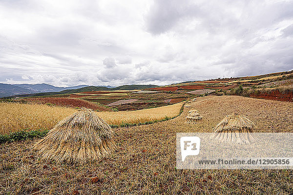 China  Yunnan province  Dongchuan  Red Land  field during harvest