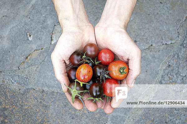 Man's hands holding various organic tomatoes