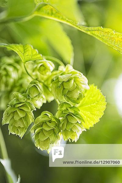 Hop cone  Humulus lupulus