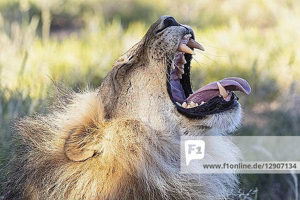 Botswana  Kgalagadi Transfrontier Park  lion  Panthera leo  male  yawning