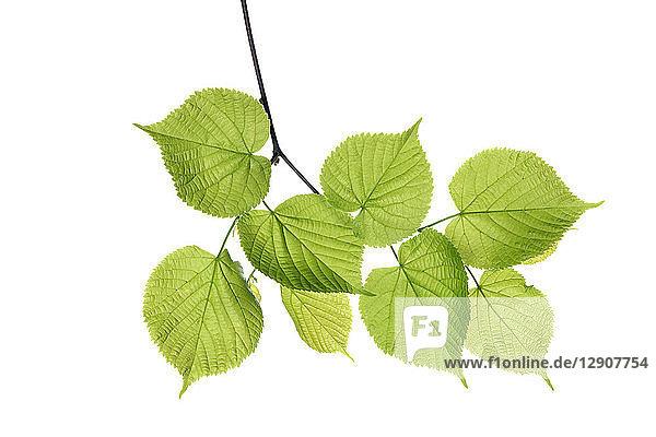 Lime tree  Tilia spec.  leaves against white background