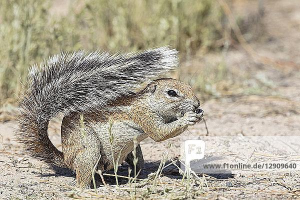 Botswana  Kgalagadi Transfrontier National Park  Mabuasehube Game Reserve  African ground squirrel  Xerus inauris