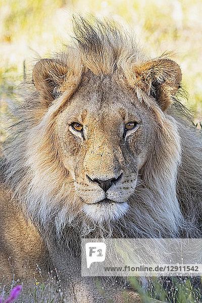 Botswana  Kgalagadi Transfrontier Park  lion  Panthera leo  male