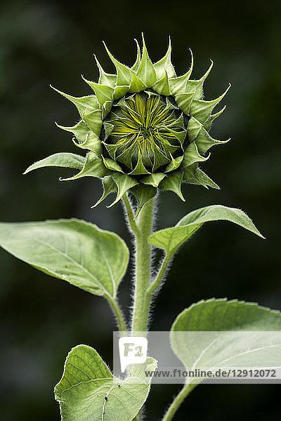 Bud of sunflower