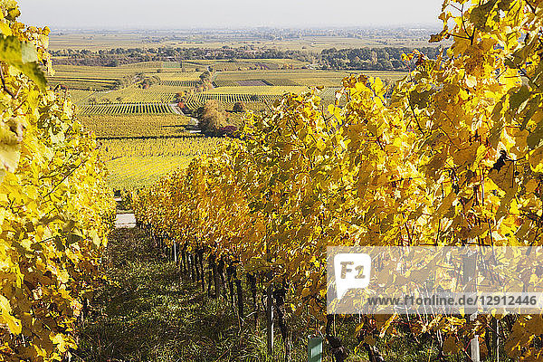 Germany Rhineland-Palatinate  Pfalz  vineyards in autumn colours  German Wine Route