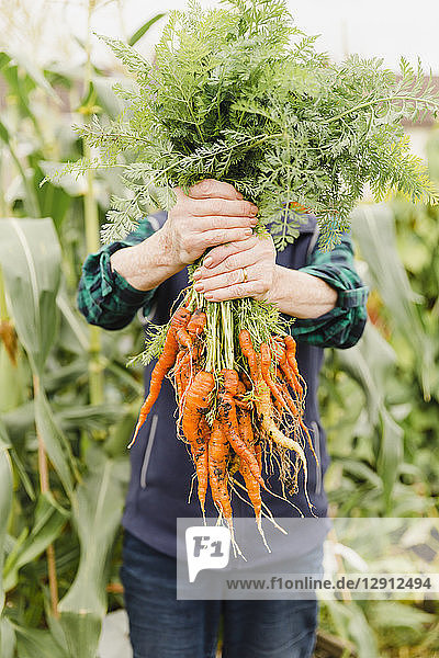 Unrecognizable senior woman holding bunch of harvested carrots