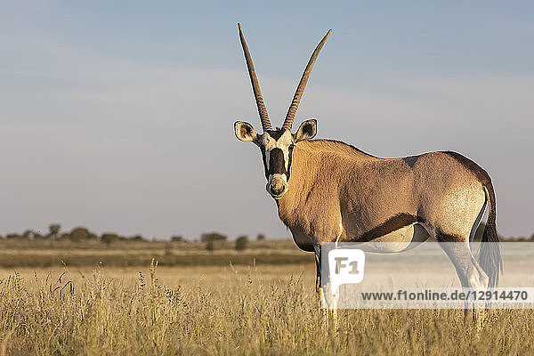 Botswana  Kgalagadi Transfrontier National Park  Mabuasehube Game Reserve  Gemsbok looking  Oryx gazella