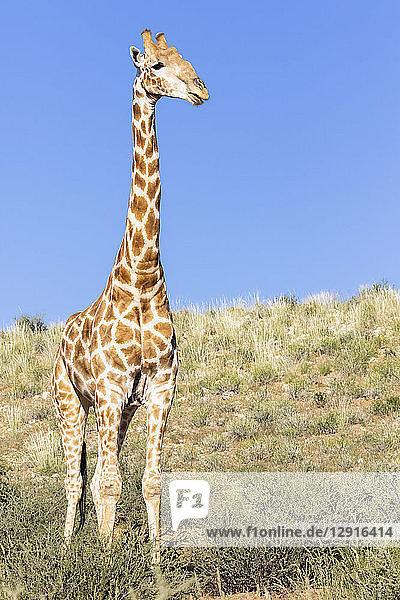 Africa  Botswana  Kgalagadi Transfrontier Park  Giraffe