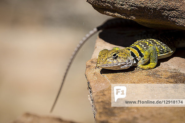 Close-up of single collared lizard on rock,  Arch Canyon,  Utah,  USA