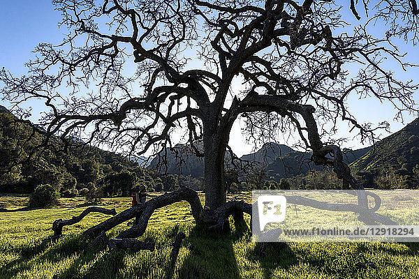 Scenic landscape with man standing near oak tree  Malibu  California  USA