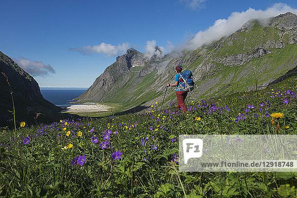 Female hiker hiking through meadow with wildflowers towards Horseid beach  Moskenesoya  Lofoten Islands  Norway