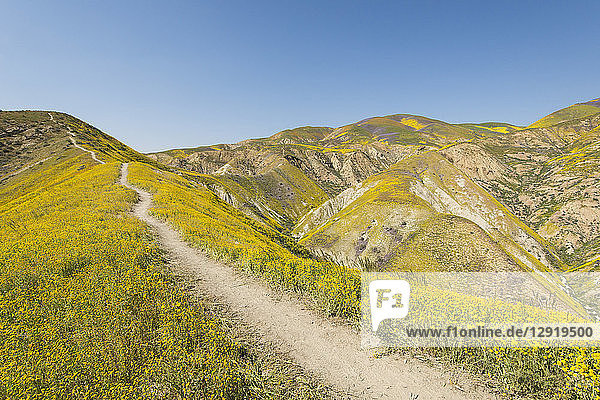 Scenic landscape with footpath on hill among yellow wildflowers, CarrizoPlain National Monument,  California,  USA