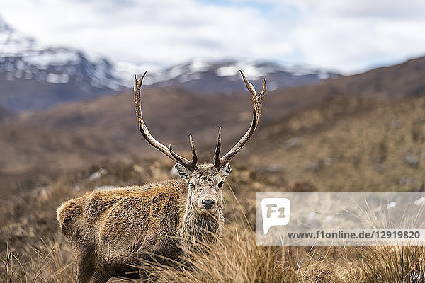 A wild Red Deer with big antlers in the Scottish Highlands in Torridon along The Cape Wrath Trail  Highlands  Scotland  United Kingdom