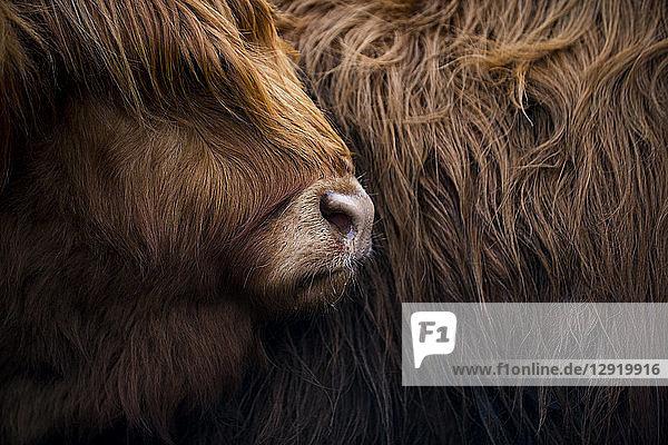 Highland cow near Shiel Bridge in the Scottish Highlands  Scotland  United Kingdom