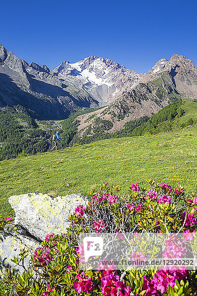 Hiker and rhododendron flowers  with Mount Disgrazia in the background  Scermendone  Valmasino  Valtellina  Lombardy  Italy  Europe