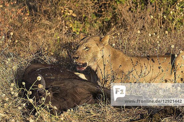 Lioness (Panthera leo) feeding on young Cape buffalo (Syncerus caffer)  Chobe National Park  Botswana  Africa