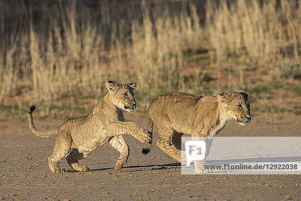 Lion cubs (Panthera leo) playing  Kgalagadi Transfrontier Park  South Africa  Africa