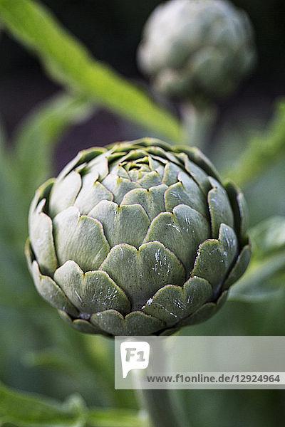 Close up of globe artichokes growing in a restaurant garden.