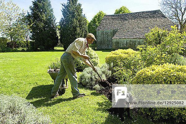 Ein Mann gärtnert  indem er mit einer Gabel Mulch und Dünger in den Boden um reife Sträucher herum einbringt.