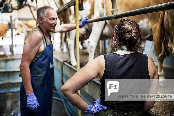 Mann und junge Frau mit Schürzen stehen in einem Melkstall mit Guernsey-Kühen.