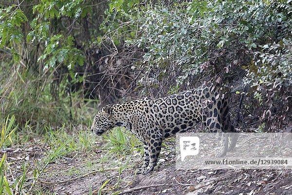 Jaguar (Panthera onca)  adult male scent marking  territorial behaviour  Pantanal  Mato Grosso  Brazil.