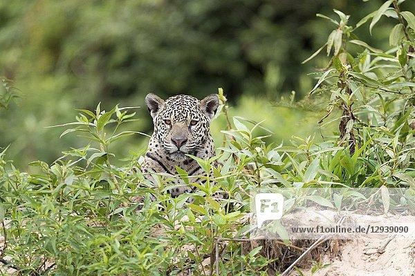 Jaguar (Panthera onca)  adult lying in vegetation on riverbank  Pantanal  Mato Grosso  Brazil.
