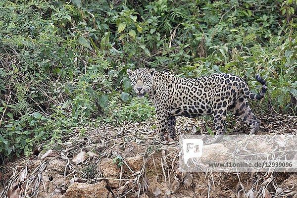 Jaguar (Panthera onca)  adult standing on riverbank  Pantanal  Mato Grosso  Brazil.