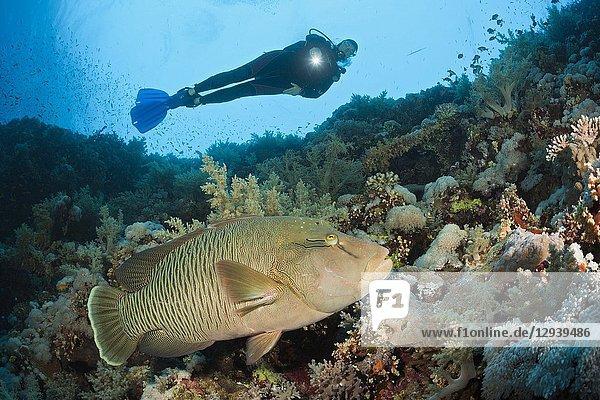 Scuba Diver and Napoleon Wrasse  Cheilinus undulatus  Brother Islands  Red Sea  Egypt.