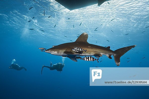 Oceanic Whitetip Shark below Liveaboard  Carcharhinus longimanus  Brother Islands  Red Sea  Egypt.