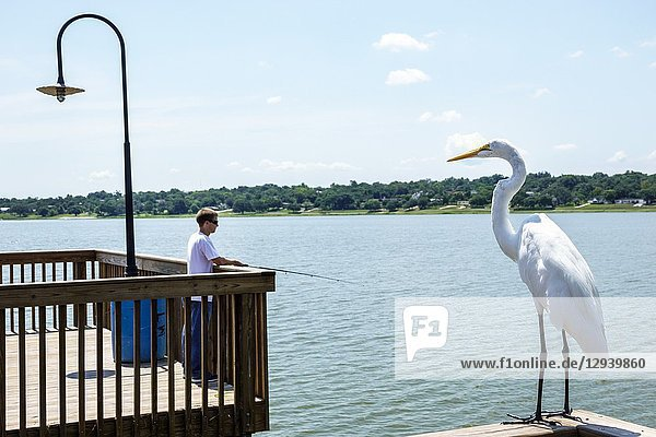 Florida  Lake Wales  Wailes  pier  great common egret white  Ardea alba