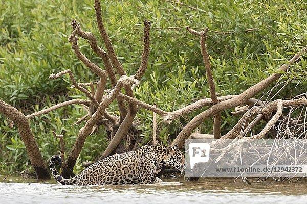 Jaguar (Panthera onca)  young going out of a river  Pantanal  Mato Grosso  Brazil.
