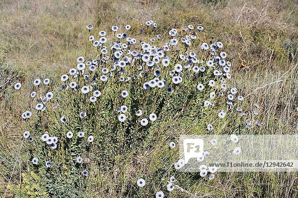 Crown friar (Globularia alypum) is a small shrub native to Mediterranean Basin. This toxic plant was used how a medicinal. This photo was taken in Utxesa  Lleida province  Catalonia  Spain.