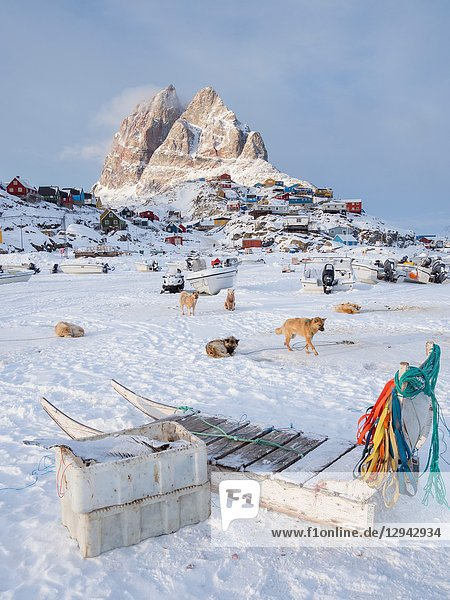 Team of sled dog during winter in Uummannaq in the north west of Greenland. Dog teams are still draft animals for the fishermen of the villages and stay all winter on the sea ice of the fjord. North America  Greenland  Denmark.