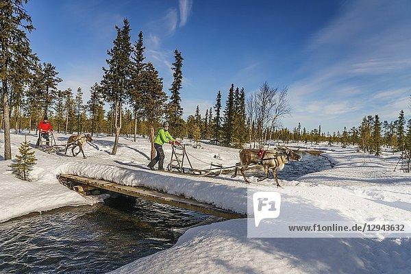Reindeer Sleding  Lapland  Sweden.
