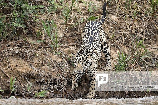 Jaguar (Panthera onca)  adult jumping down from riverbank  Pantanal  Mato Grosso  Brazil.