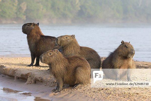 Capybara (Hydrochoerus hydrochaeris)  group resting on sandbank in river  Pantanal  Mato Grosso  Brazil.