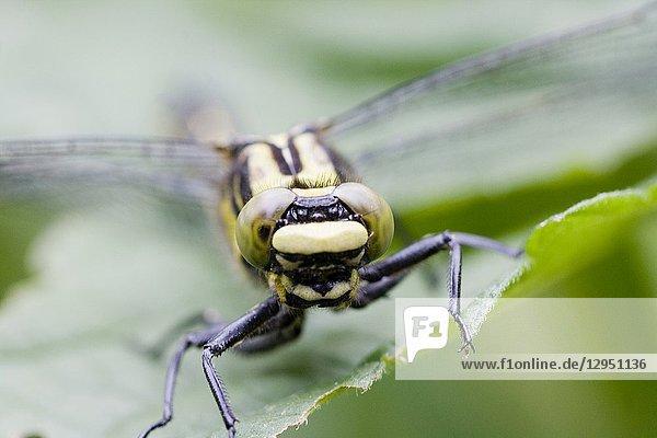 Female Club-tailed Dragonfly  Gomphus vulgatissimus. Eyes.
