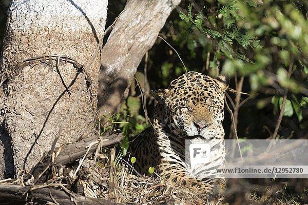 Jaguar (Panthera onca)  old male resting on riverbank  Pantanal  Mato Grosso  Brazil.