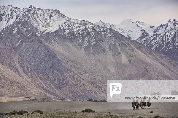 Camels in the Karakoram Mountains  Hundar  Nubra Valley  Ladakh  India.