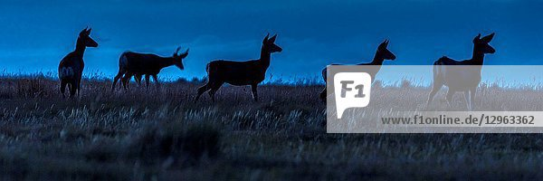 Deer in wild Hastings Mesa,  Colorado,  on property of photographer Joe Ohm at dusk